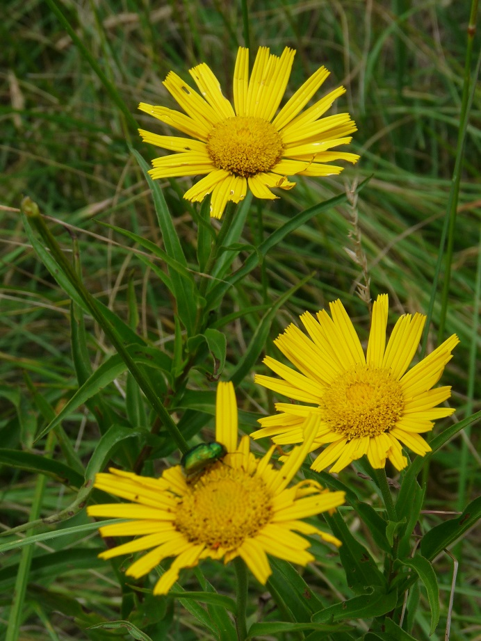 Buphtalmum salicifolium
