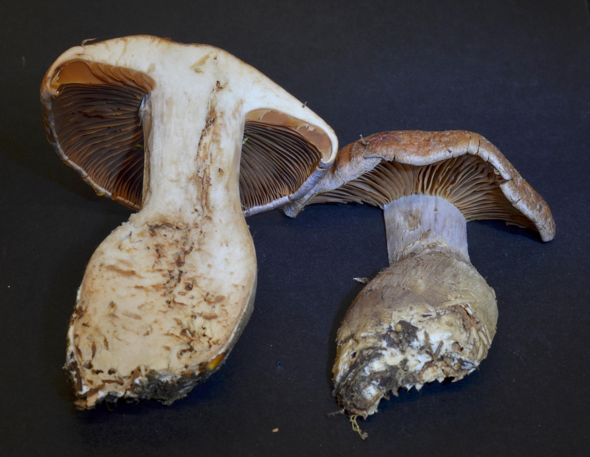 Cortinarius poecilopus