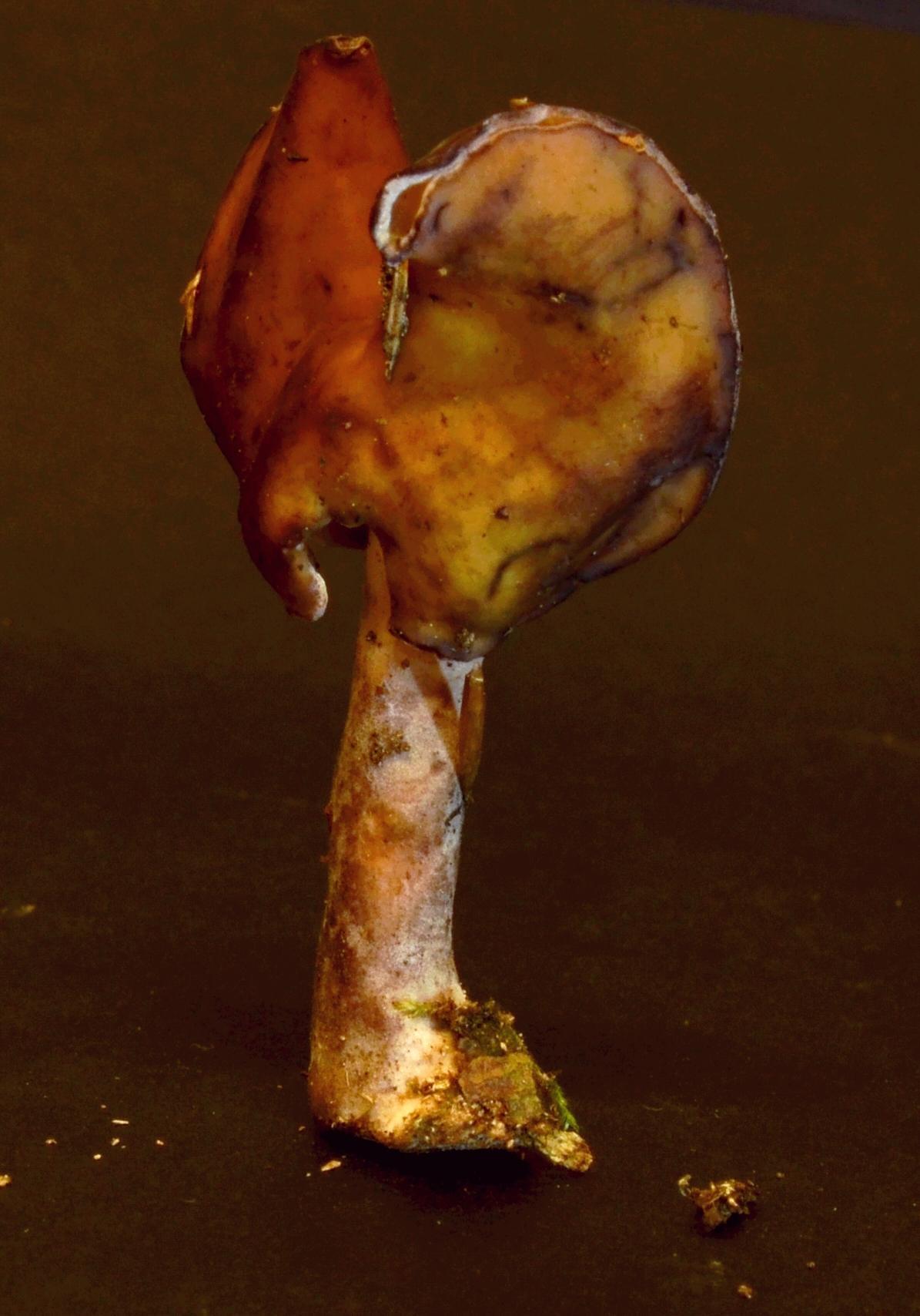 Gyromitra infula