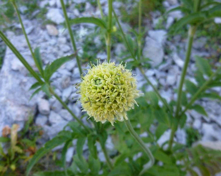 P1 cephalaria alpina