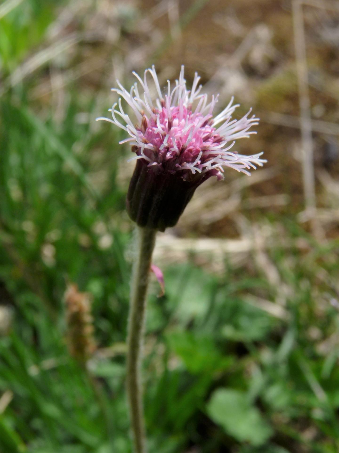 Homogyne alpina (12-07-18)