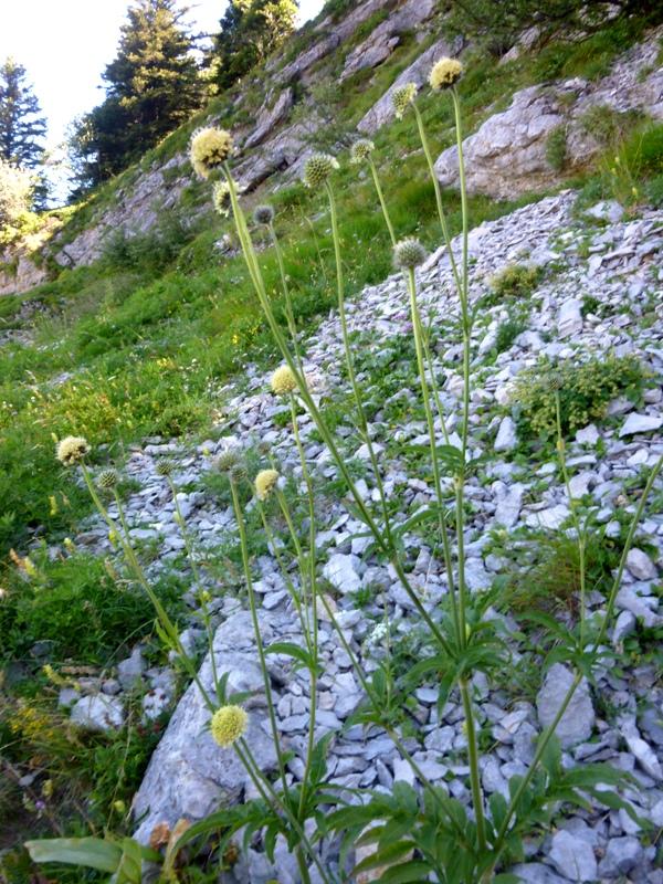 P2 cephalaria alpina