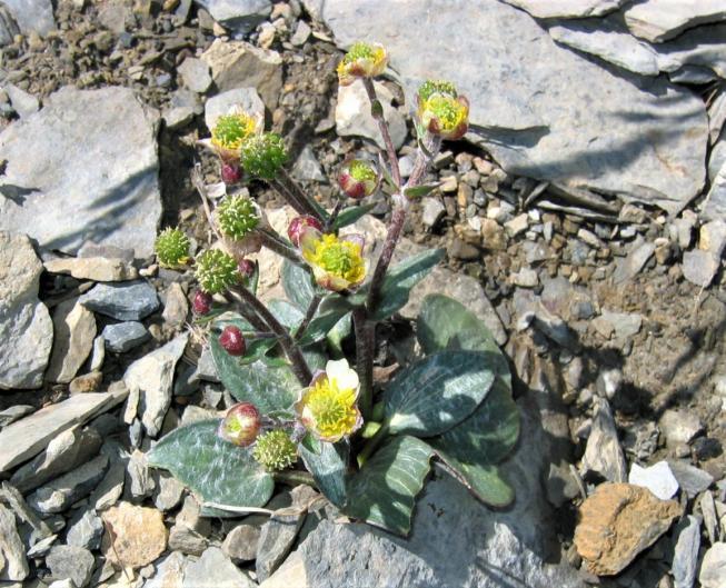 Ranunculus parnassifolius 2239f la toura renoncule a feuilles de parnassie 20583