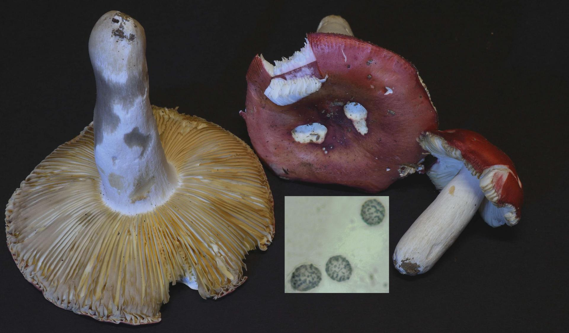 Russula pseudointegra